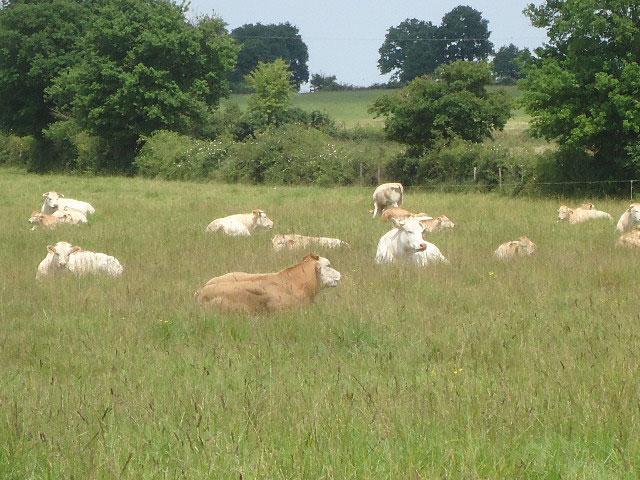 vaches-blonde-d'aquitaine-champ-ete-gaec-villeneuve_saint-maurice-etusson