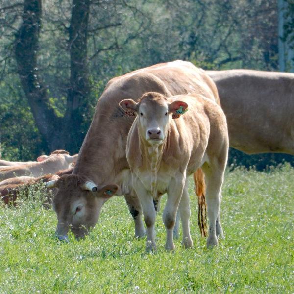 vache_blonde_daquitaine_avec_veau_gaec-villeneuve_saint-maurice-etusson