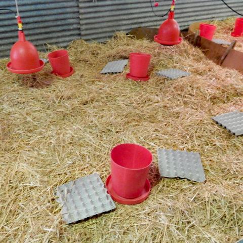 Préparation du bâtiment pour recevoir les oies d'anjou