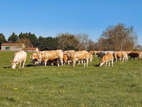 vache_blonde-aquitaine_agriculture_deux-sevres_gaec-villeneuve_79150_circuit-court_vente-directe
